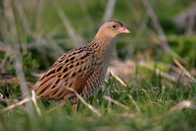 Pioneer Foods helps bring British corncrakes back into the wild